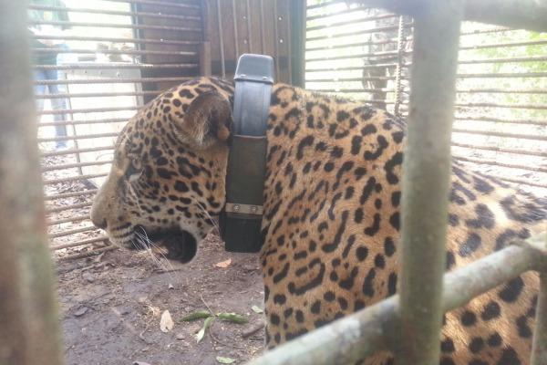 Ação permitiu que animal ameaçado de extinção voltasse ao habitat natural