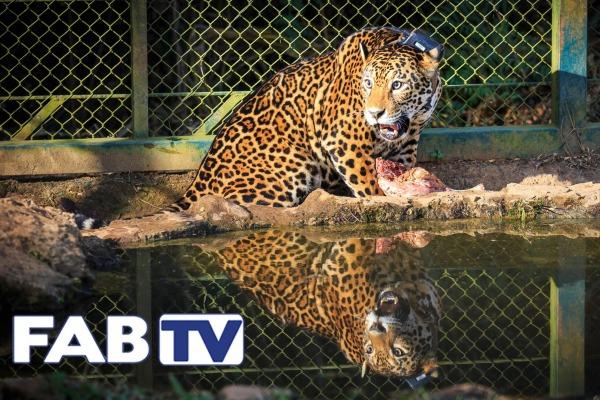 O programa mostra como a Força Aérea Brasileira contribuiu para a reintrodução dos animais na natureza