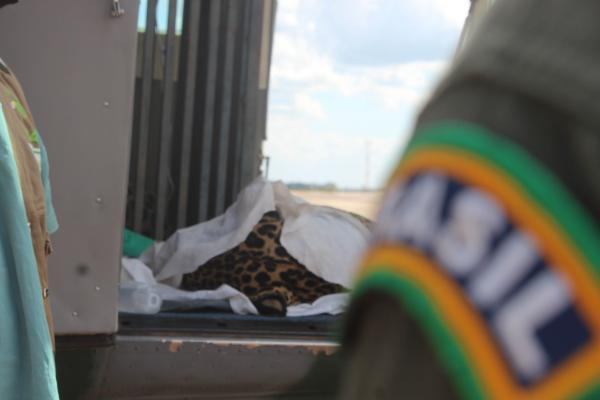 Duas onças-pintadas foram transportadas de uma reseva ecológica do Pantanal para Campo Grande (MS)